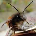 Osmia cornuta mâle