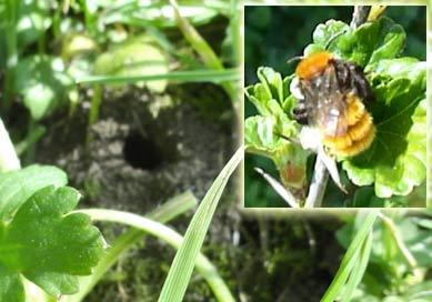 Adrena fulva abeille mineur de la pelouse