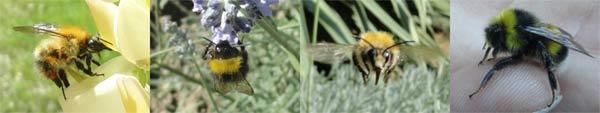 34 espèces de Bourdons en France