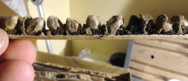 Cocons d'abeilles maçonnes - Osmia-cornuta