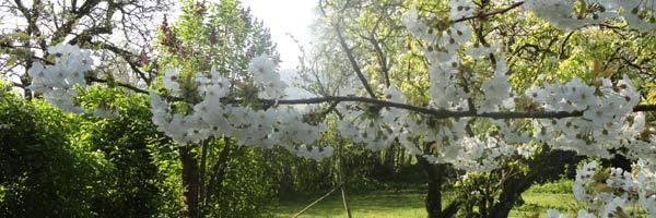 Printemps : la saison des cerisiers