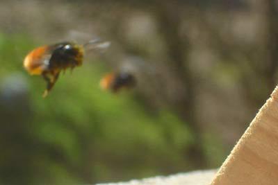 Les abeilles solitaires sont souvent grégaires