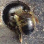 Osmia rufa une abeille avec des poiles blanches