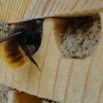 Une abeille maçonne en train de boucher son tunnel