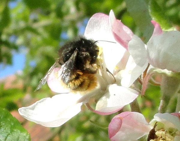 osmia-cornuta-pollen2