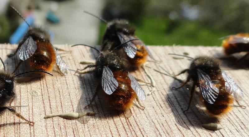 abeilles-maconnes-males-pret-a-decoller-EN