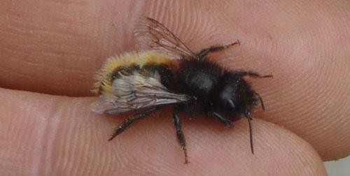 abeille-fatiguee-avec-rayure-sur-dos