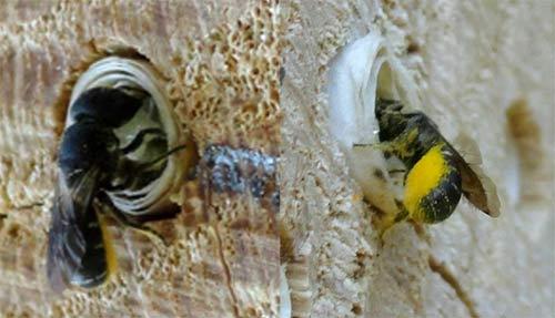 """Heriades truncorum - espèce d'abeille """"résine"""""""