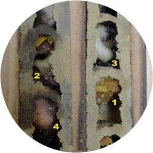 Abeilles maçonnes - développement du larve