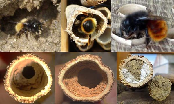 Construction du bouchon du nid de l'abeille maçonne