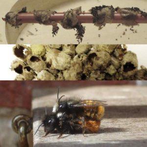 emergence-et-reproduction-des-abeilles-maconnes