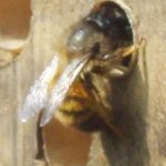 Osmia rufa - femelle