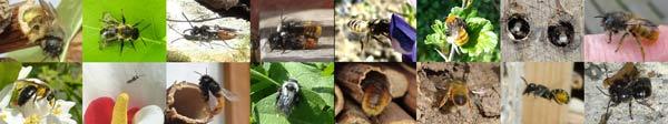 Une sélection d'espèces d'abeilles trouvées dans nos jardins.