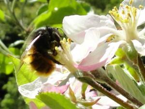 osmia-cornuta-pollen