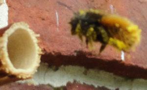 scopa-pollen-inefficacite