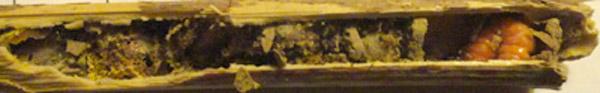 trichodes-alvearius