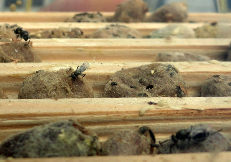 chalcid-flies-checking-cocoons