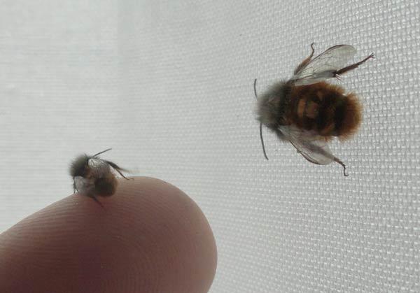 petite-abeille-cornue