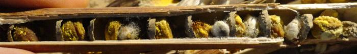 pollen-partiellement-consomme