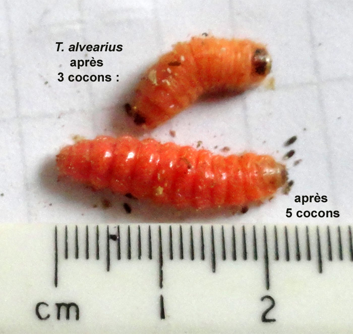 taille-de-trichodes-larve