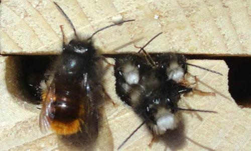 les-abeilles-maconnes-comment-les-aider
