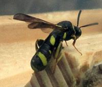 Leucospis sp.
